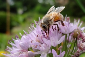 Honeybee on Allium