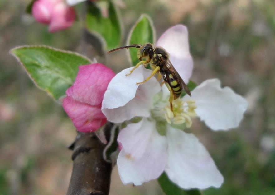 Nomada Cuckoo Bee