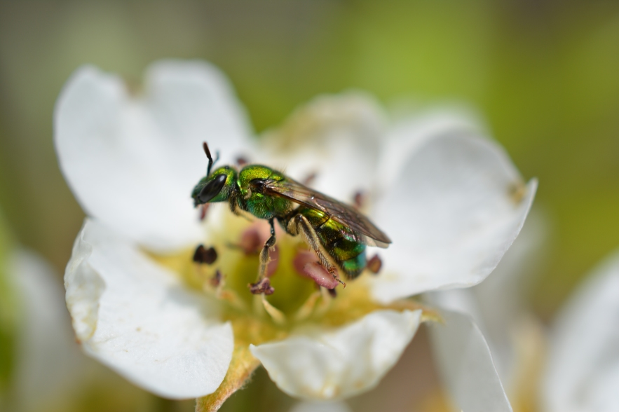 Metallic Green Sweat Bee on Fruit Tree Blossom
