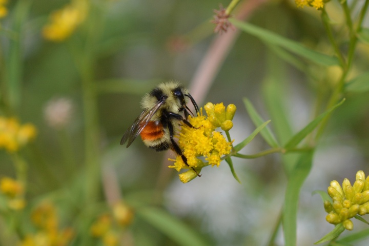 Tri-colored Bumble Bee on Goldenrod