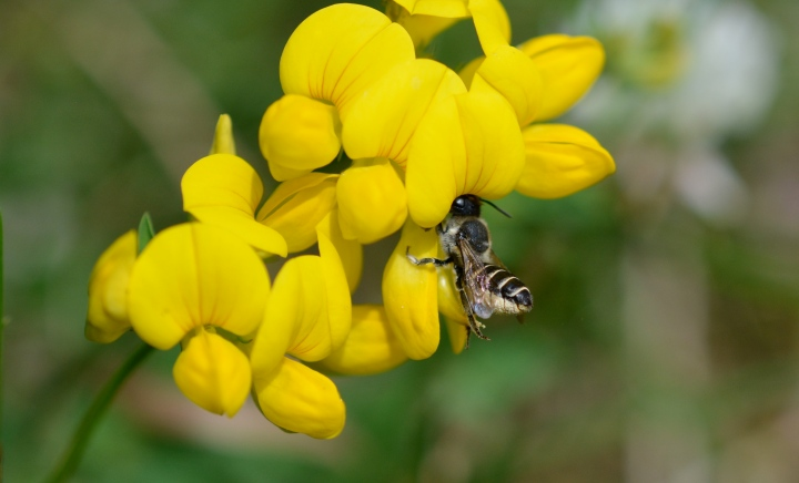 Leaf Cutter Bee on Birds Foot Trefoil