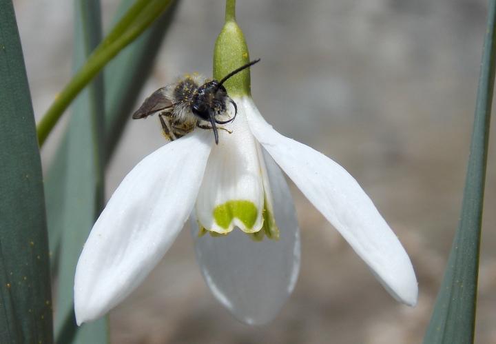 Small Mining Bee