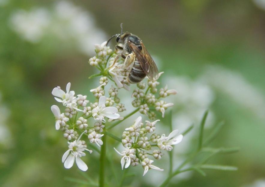 Dark Sweat Bee on Corriander Flower