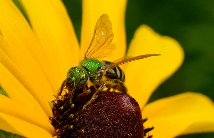 Green Sweat Bee on Black Eyed Susan