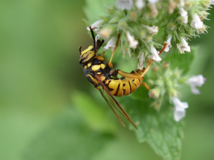Yellow Jacket Mimic