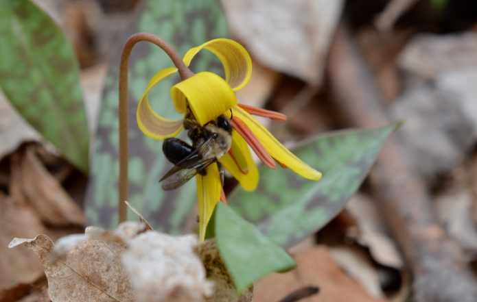 Large Mining Bee on Trout Lily