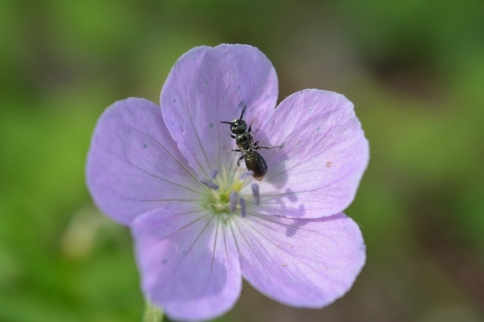 Small Carpenter Bee on Wild Geranium. (Note the blue pollen on the young flower).