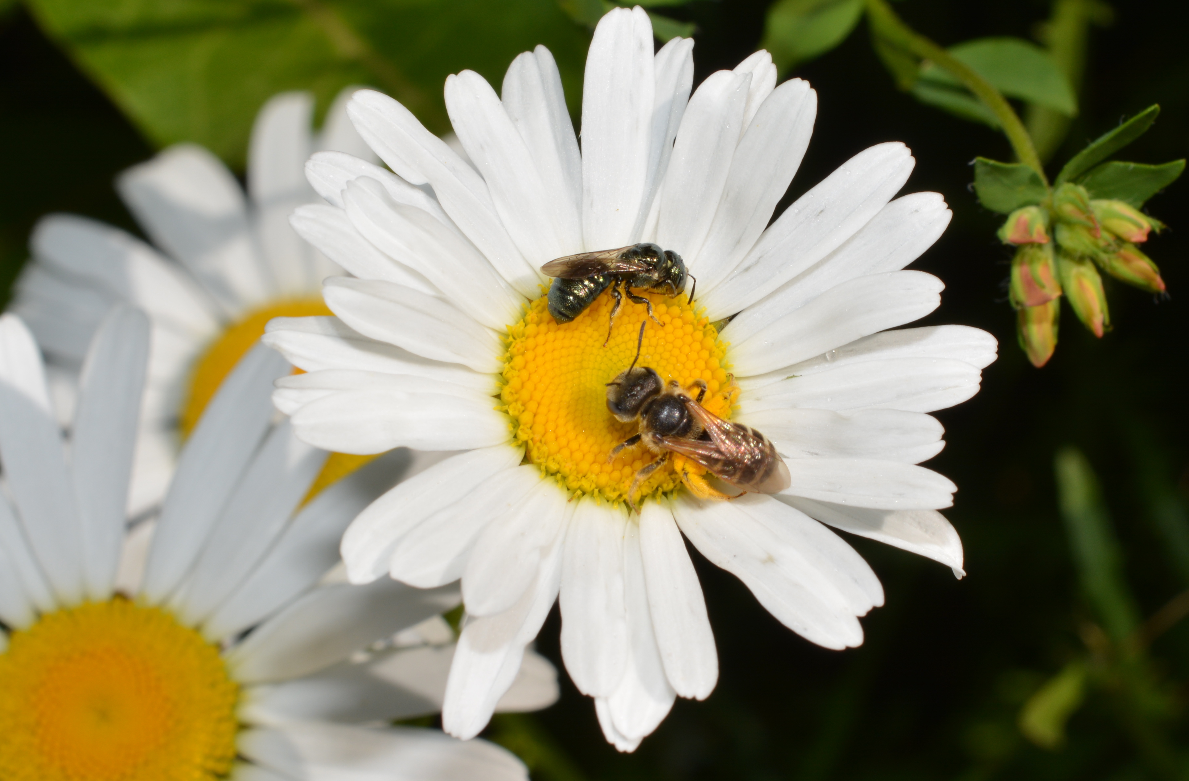 Dancing a duet on a daisy native beeology the sweat bee decides that two is a crowd and takes flight to explore a new daisy the small carpenter bee is left to enjoy a pollen and nectar snack on a izmirmasajfo