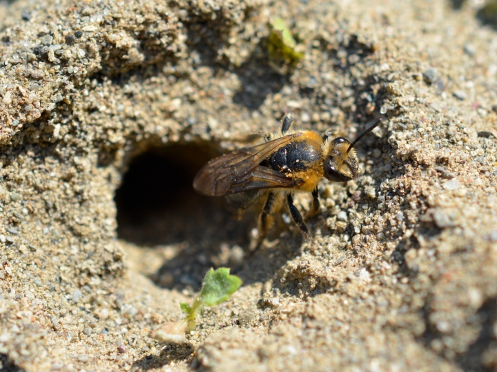 Large mining bee exiting nesting chamber.