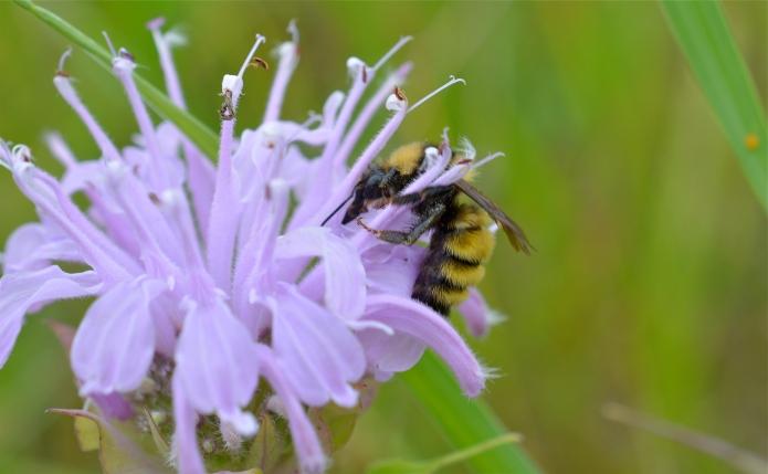 Northern amber bumbe bee