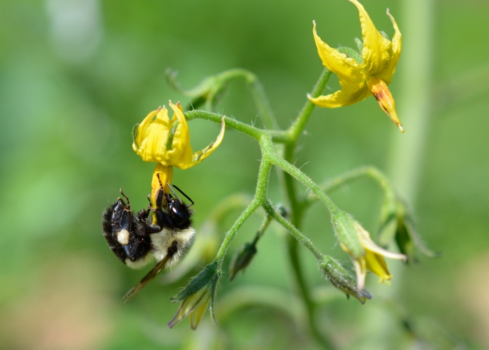 Bumblebee Pollinating a Tomato Flower
