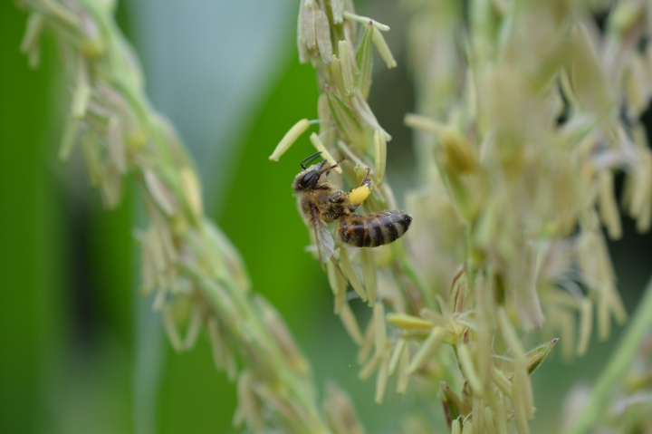 A Honeybee Collecting Pollen from a Corn Tassle