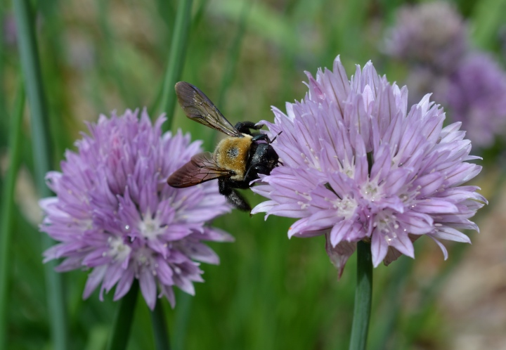 A Carpenter Bee Pollinating Chives.