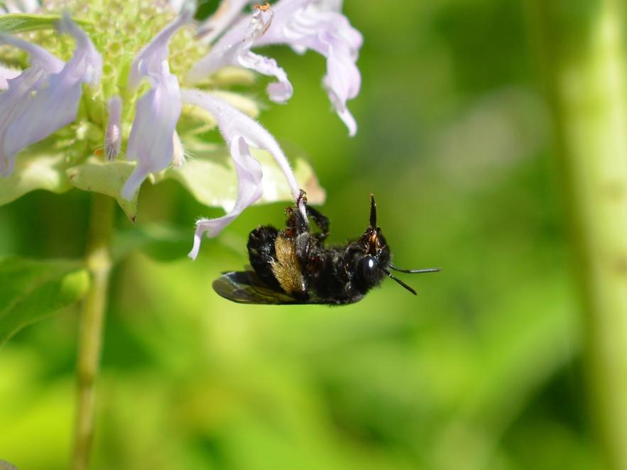 A black long-horned bee on monarda