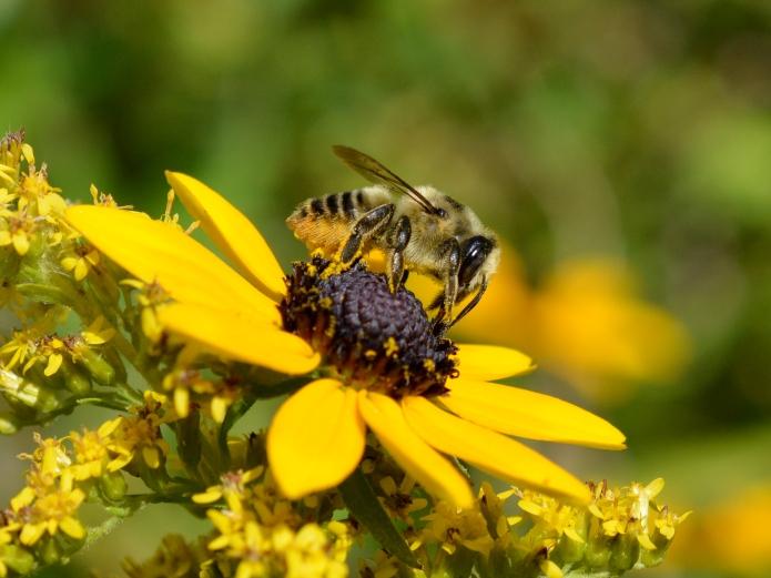 Carder bee on black eyed susan.