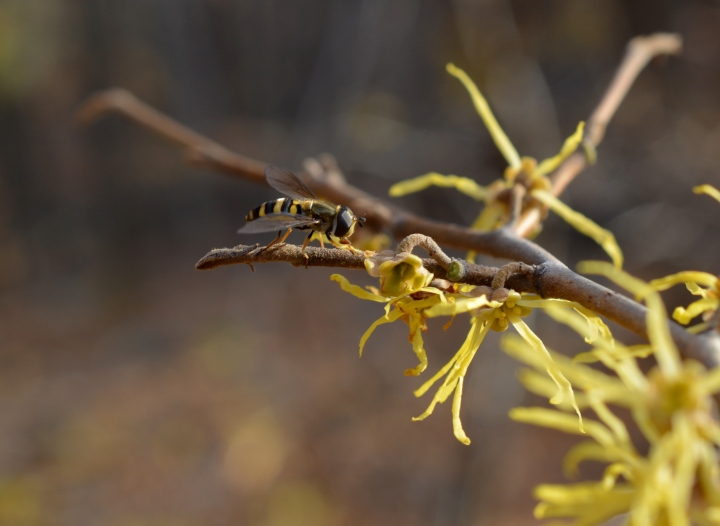 Drone fly on witch-hazel