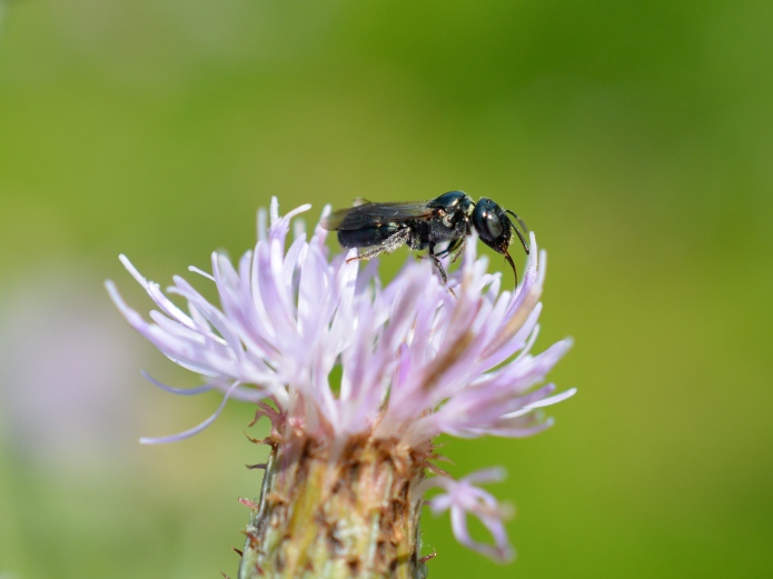 Small Carpenter Bee on Thistle.