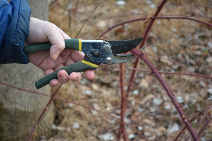 Pruning Brambles for Small Carpenter Bees