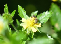 Small Sweat Bee on Cinquefoil