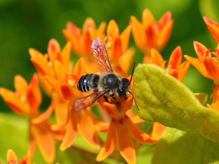 Leaf Cutter Bee on Butterfly Weed
