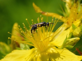 Yellow-face Bee on St. John's Wort