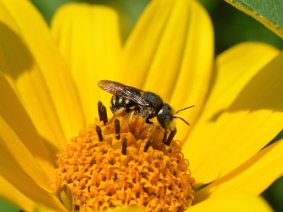 Carder Bee on False Sunflower