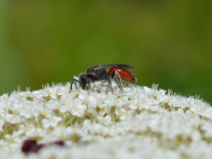 Cuckoo Bee on Queen Anne's Lace