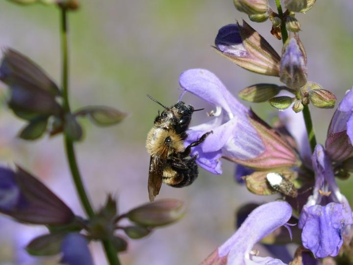 Bufflehead Mason Bee on Sage Flower
