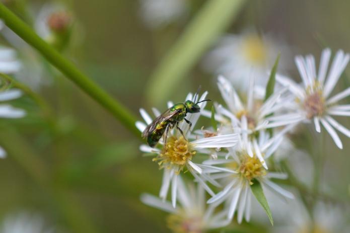 Green Sweat Bee on Aster