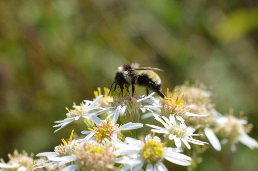 Northern Amber Bumble bee on Aster
