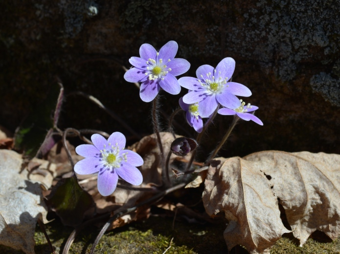 Hepatica growing in the forest of Slabsides
