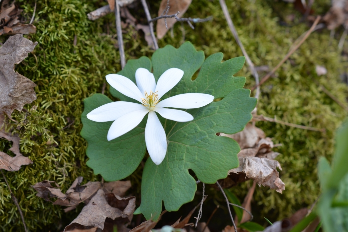 Bloodroot growing at Slabsides