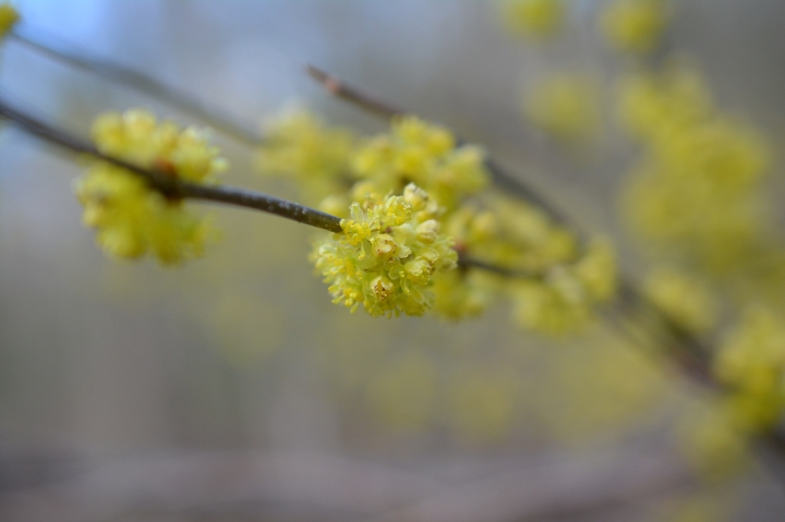 Spicebush Grows throughout Celery Swamp.