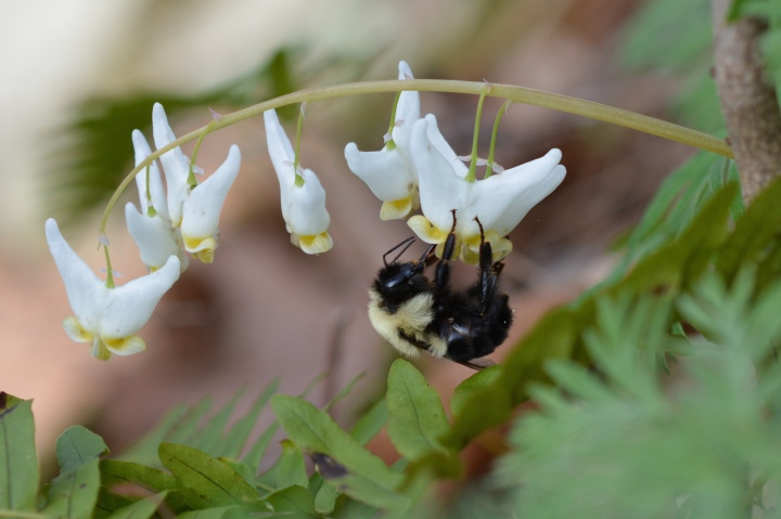 Queen Bee Visiting a Dutchmans Breeches
