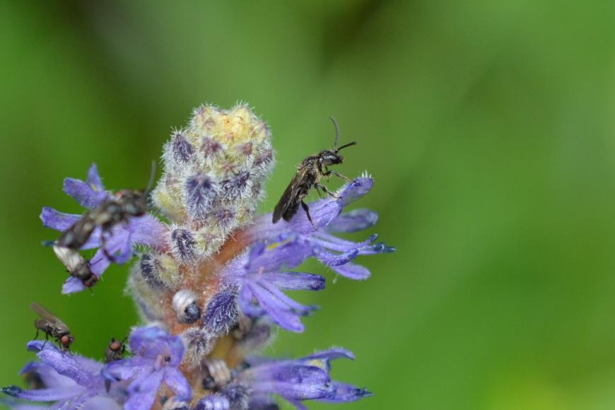 Pickerel Bee on Pickerel Flower