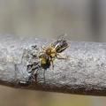 Species of Andrena, mining bees are common pollinators ofBloodroot