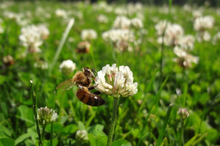 White Clover is a Favorite of Honey Bees