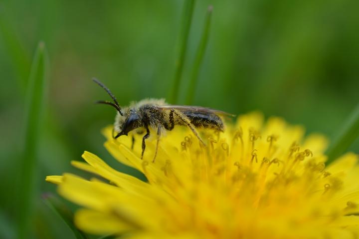 Male Mining Bee on Dandelion