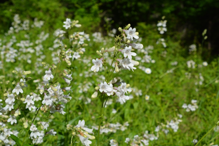 A field of Beardtongue