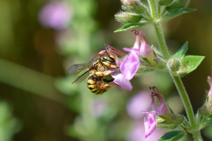 Wool Carder Bee on