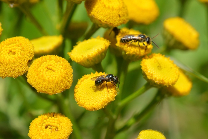 Small Carpenter Bee (Ceratina spp.) and sweat bee (Halitus spp.) on Tansy.