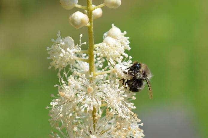 Bumble Bee (Bombus spp.) on Bugbane