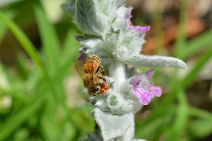 Honey Bee on Lamb's Ear