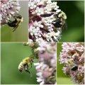 Milkweed Bumblebees