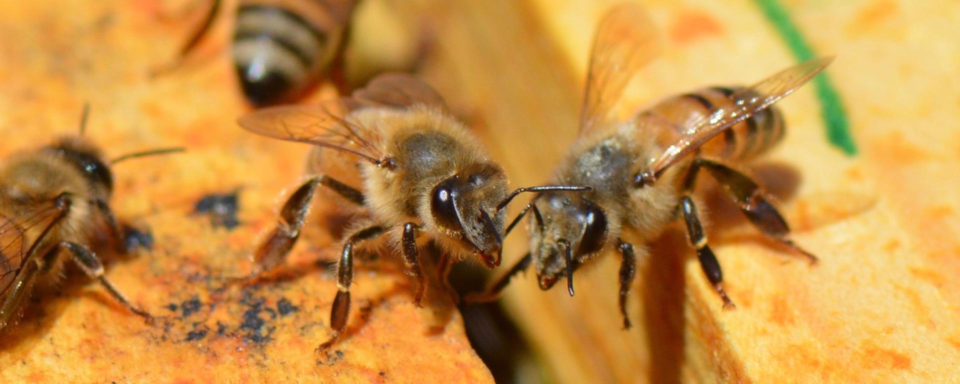 Native north american honey bees native beeology native north american honey bees freerunsca Gallery