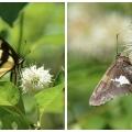 Buttonbush and Butterflies