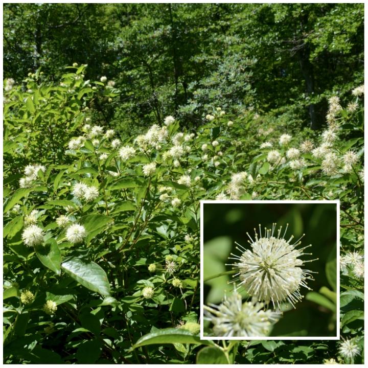 Buttonbush A Midsummer Favorite Native Beeology