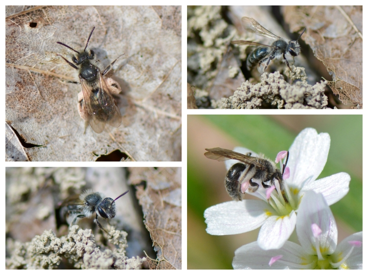 Spring Beauty Mining Bee